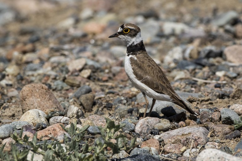 Kazakhstan - Little Ringed Plover 1